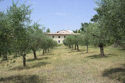 Filare di olivi con S. Masseo sullo sfondo